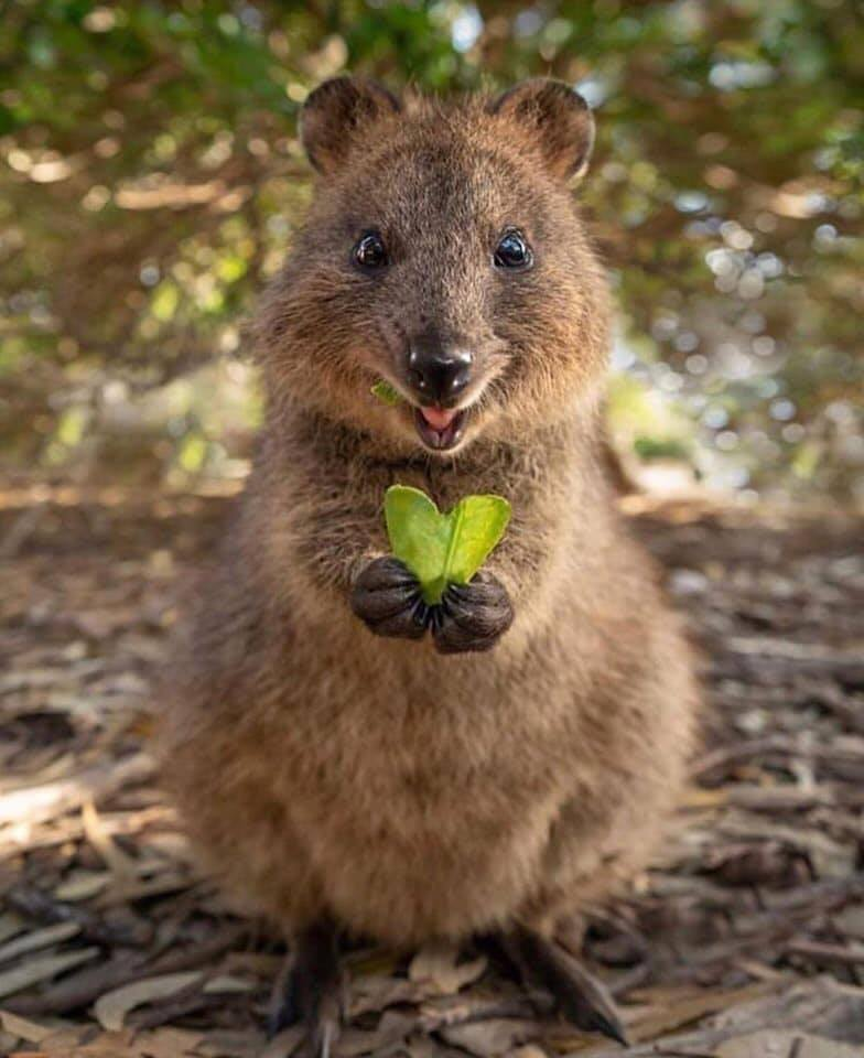 Meet The Quokka, The Happiest Animal On Earth - HypeVirals